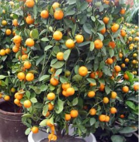 Kumquat Trees