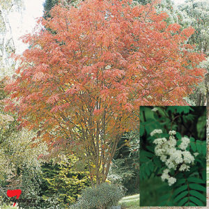 Sorbus auc Mountain Ash